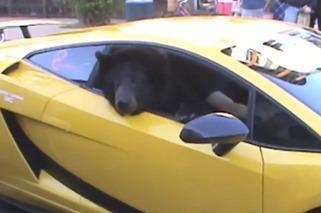 Bear in Lamborghini Shuts Down Traffic in CA