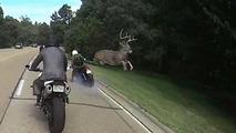 Geyik motosiklet sürücüsünü öldürüyordu